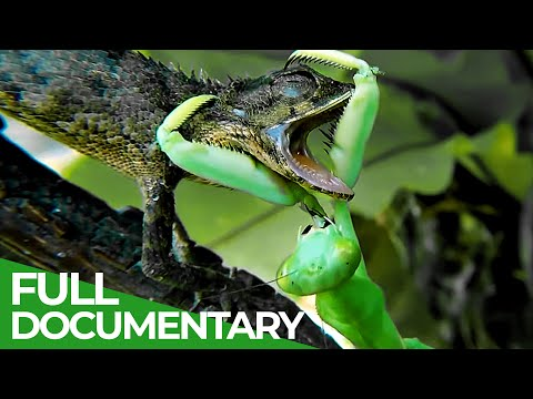 Praying Mantises - Deadly Killers Of The Insect World | Free Documentary Nature