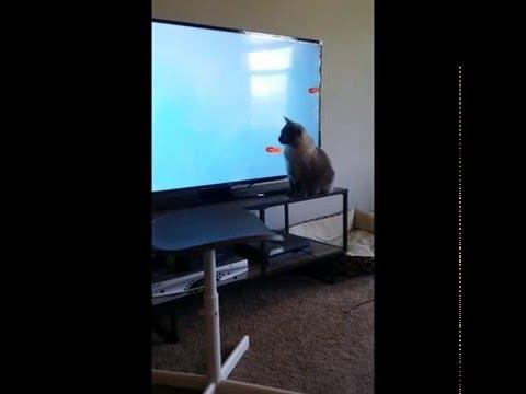 SIAMESE / MANX CAT WATCHING 4K TV 2016