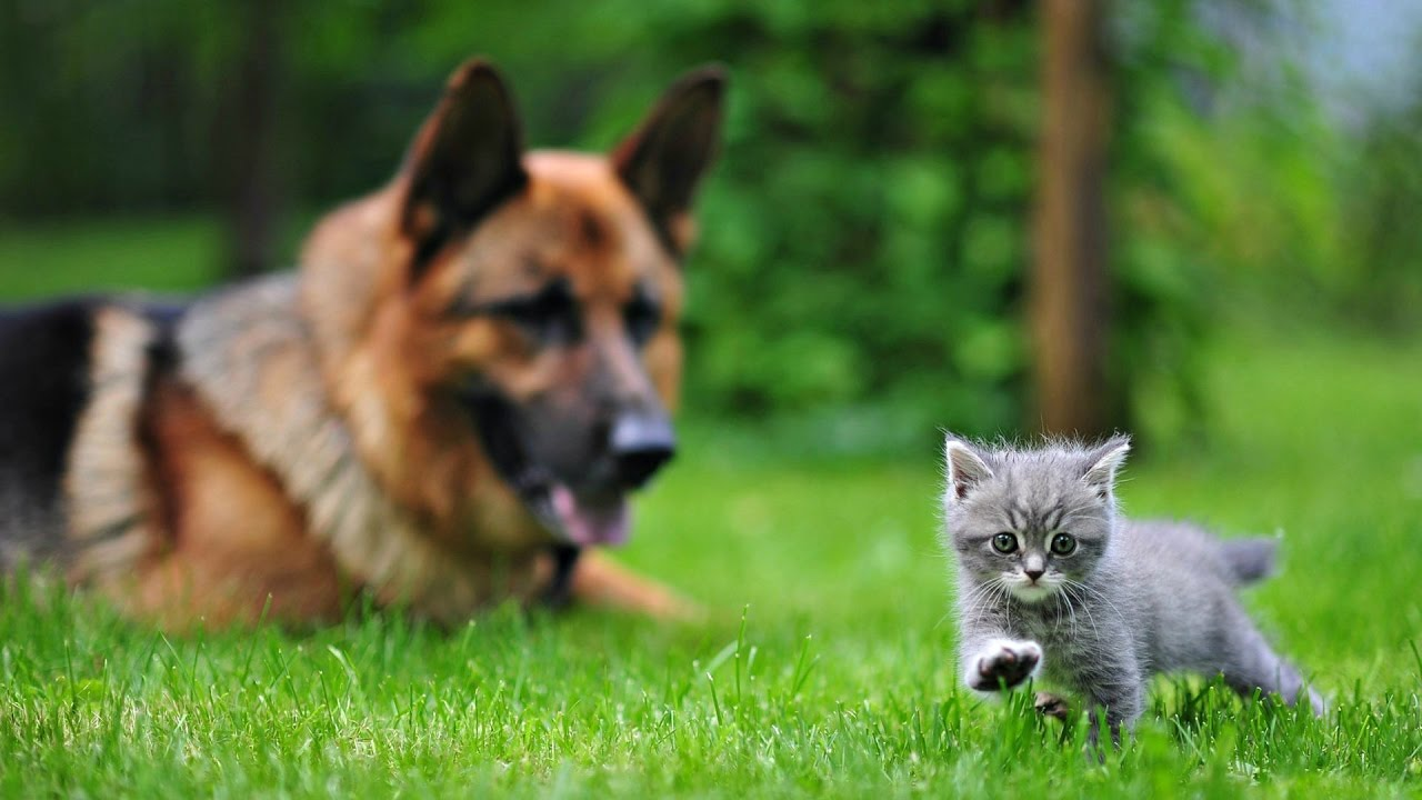 Порода собак. Немецкая овчарка. ВЕЧНАЯ ПОРОДА СОБАК