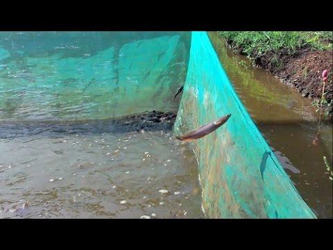 Ikan Lele Sirkus di Empang Cogreg