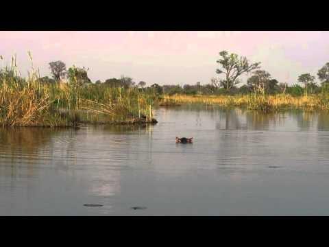 Hippopotamus in water from motor boat, Vumbura Plains, Botswana, 2015-10-02