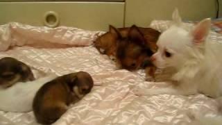 チワワの赤ちゃん(イザベラ&ホワイト)生後19日Baby Chihuahua