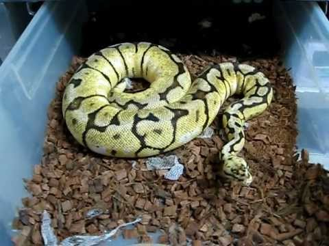 Bumblebee Ball Pythons Ricky S Reptiles Youtube