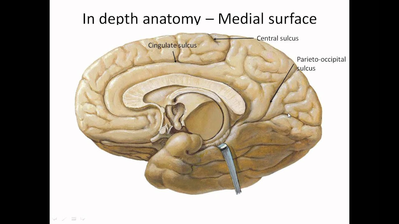 CNS Surfaces of cerebral hemispheres - YouTube