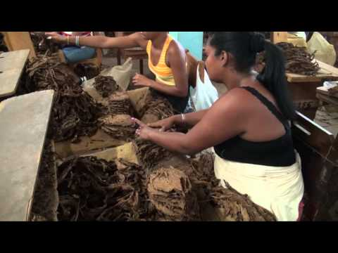 The Visits to the best tobacco plantations in Vuelta Abajo, San Luis Pinar del Río