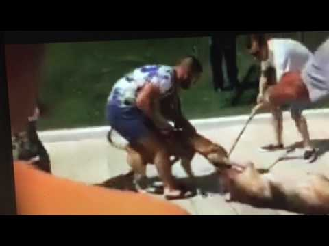 DOG STREET ACCIDENT. WHAT REAL PIT BULLS DO.
