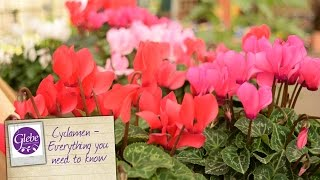 Cyclamen Everything You Need To Know