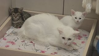 Белых разноглазых кошек спасают от вымирания (новости)