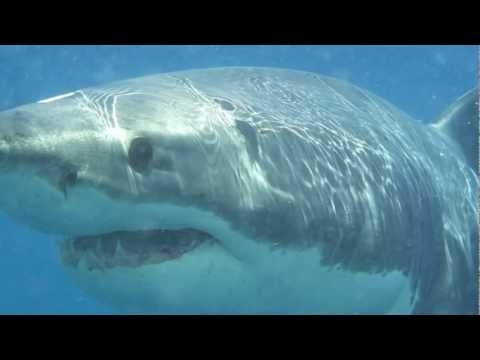 GoPro Hero2 Great White Shark Cage Dive