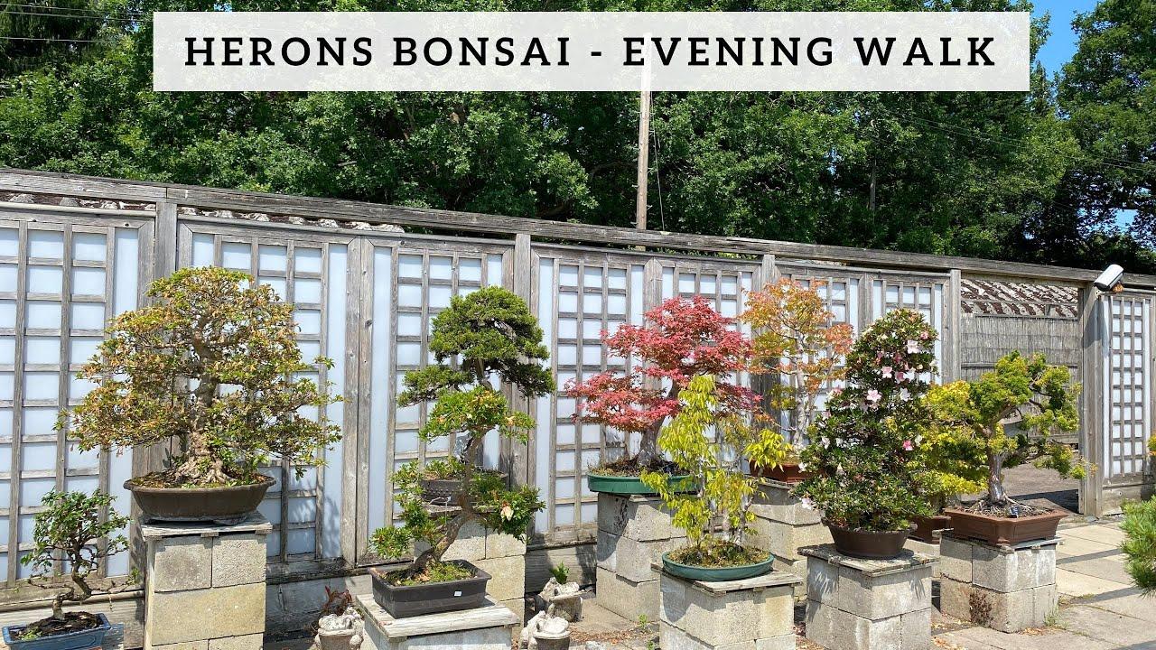 Herons Bonsai   Evening Walk