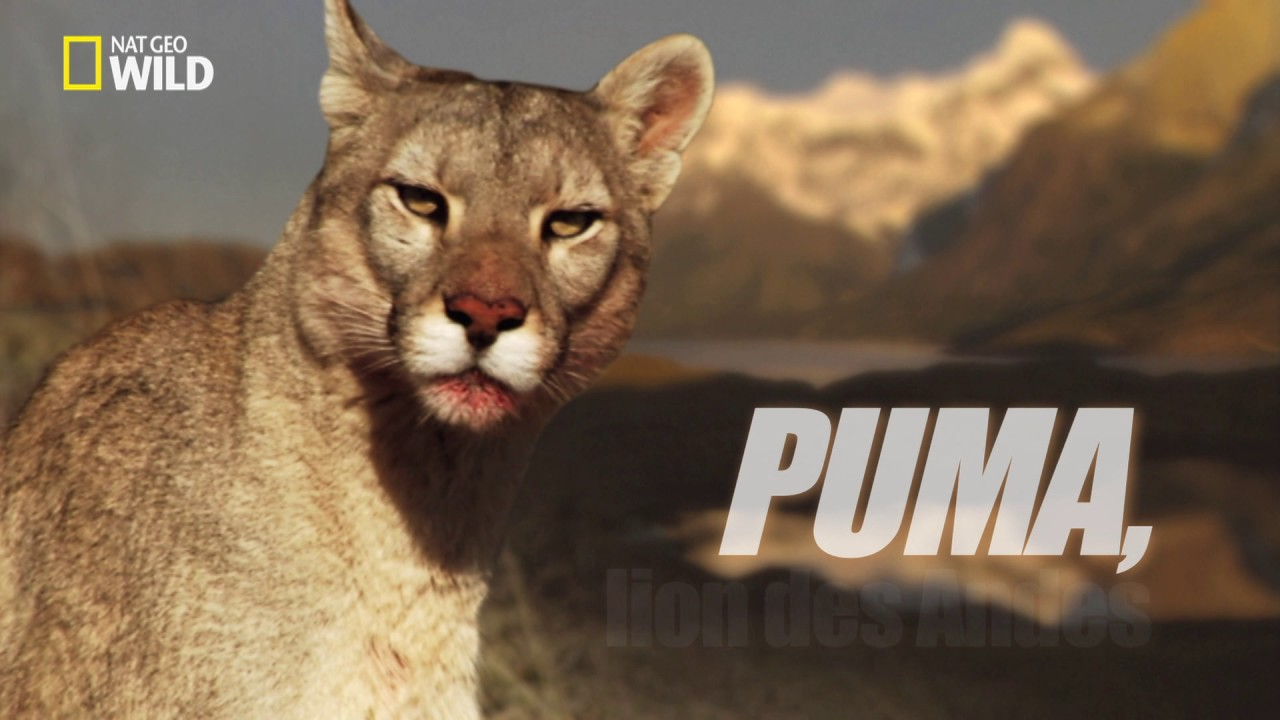animal puma photo