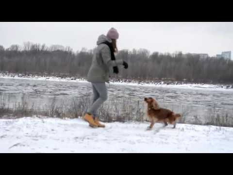 Amazing cocker spaniel Scooby - dog tricks / sztuczki