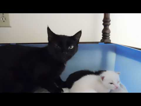 HISSY MAMA CAT PROTECTS HER KITTENS