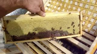 Майский мёд на Южном Урале(28 мая 2016г. заканчивается бурный весенний взяток с плодовых деревьев, жёлтой акации, одуванчика. Впервые..., 2016-05-29T14:51:46.000Z)
