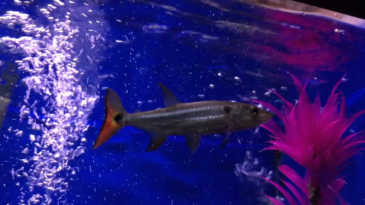 Red Tail Barracuda - YouTube