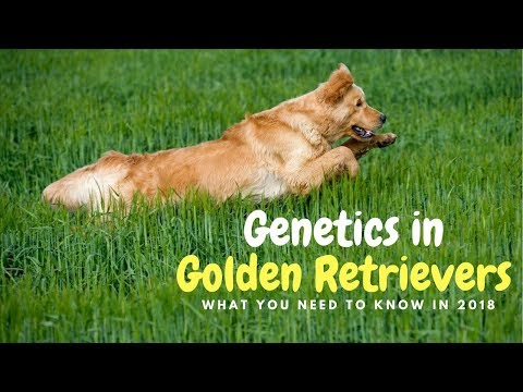 Genetics in Golden Retrievers : What you need to know (2018)