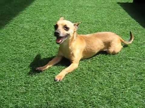 Adoptable dog at the Santa Monica Animal Shelter