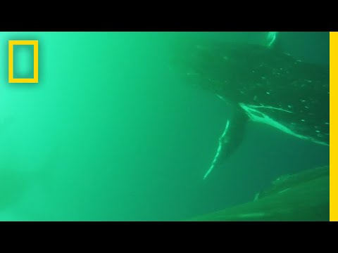 Thumbnail: First-Ever Video Shows Whales Flapping Like Birds | National Geographic