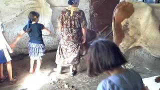 Traite de vache à l'ancienne été 2015.