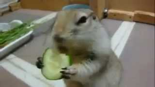 Cute Squirrel Eating Cucumber ever - Funny Animal Videos