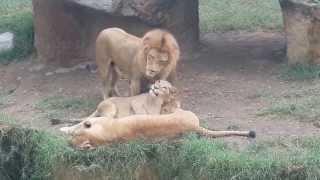 Leones jugando en familia