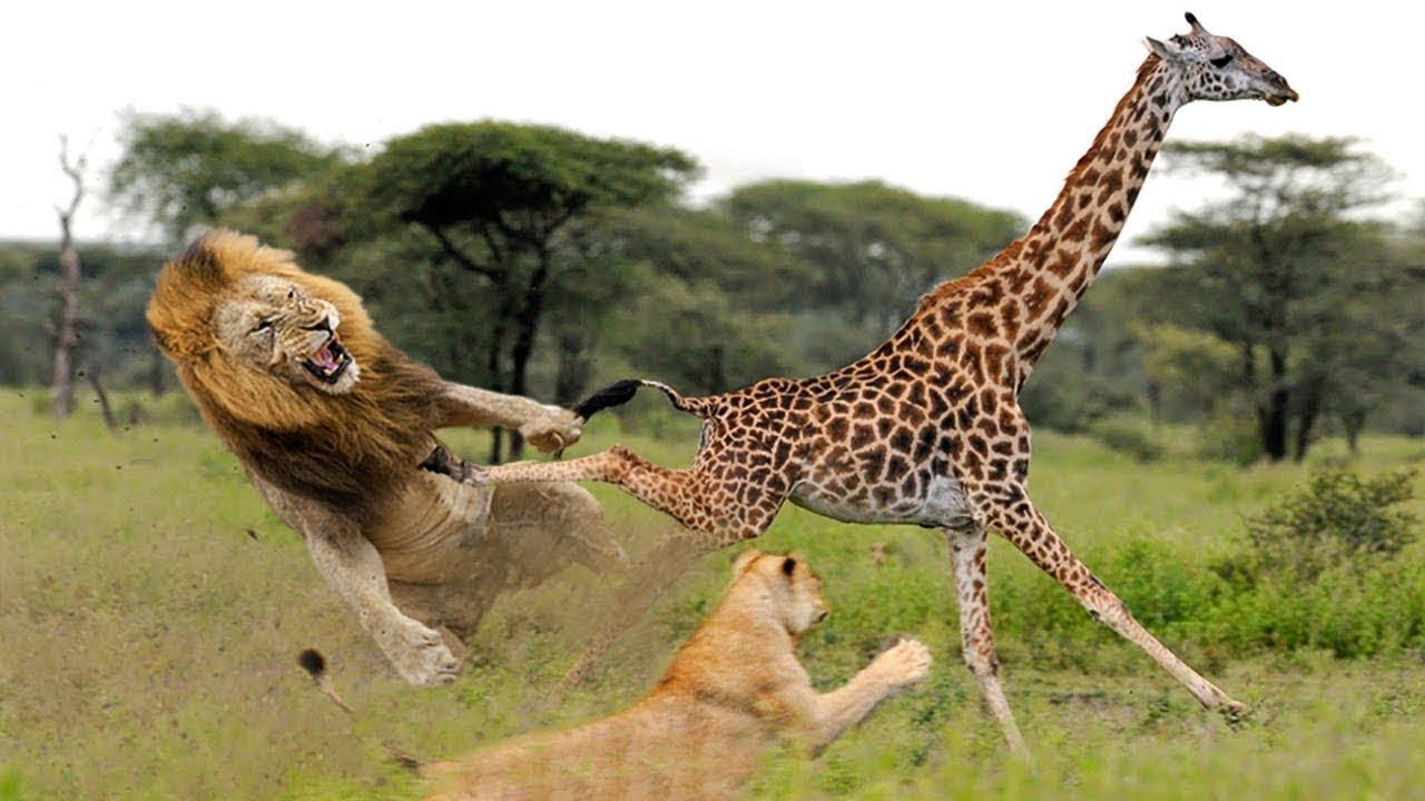 Jerapah Menyelamatkan Anaknya Dari Serangan Singa Jerapah Vs Singa