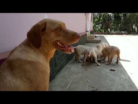 Labrador Dog with Cute and Funny Puppies
