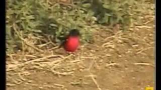 Crimson-breasted Shrike   Pete