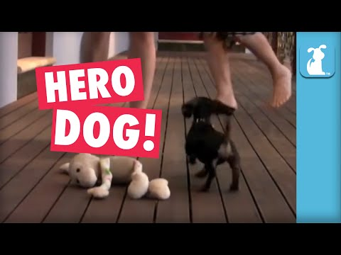 Hero Dachshund Won't Let Owner Get Bullied