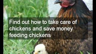 Optimizing chicken egg farming | Tips on feeding chickens for profitable chicken egg farming