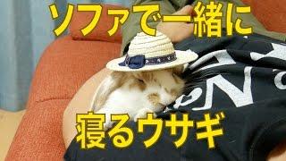 ソファで一緒に寝るウサギ ホーランドロップイヤーの赤ちゃん