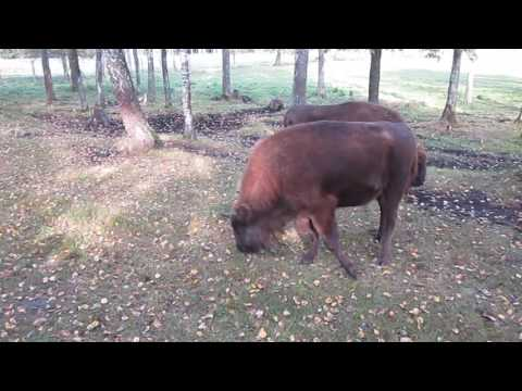 European bisons. Lithuania.