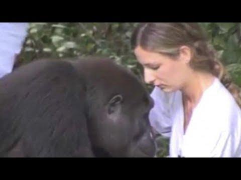 Ein Mädchen trifft einen Gorilla wieder, den sie seit 12 Jahren nicht mehr gesehen hat.