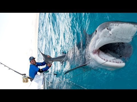 Massive 1000lb Tiger Shark caught while Bottom Fishing in the Bahamas - 4K