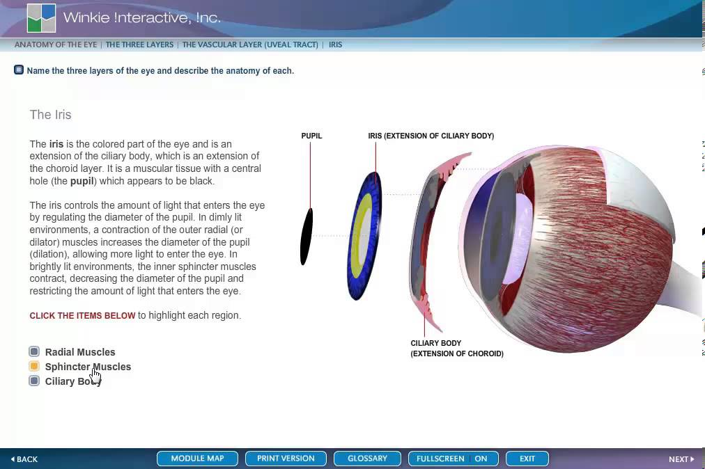 ANATOMY EYE THE IRIS - YouTube