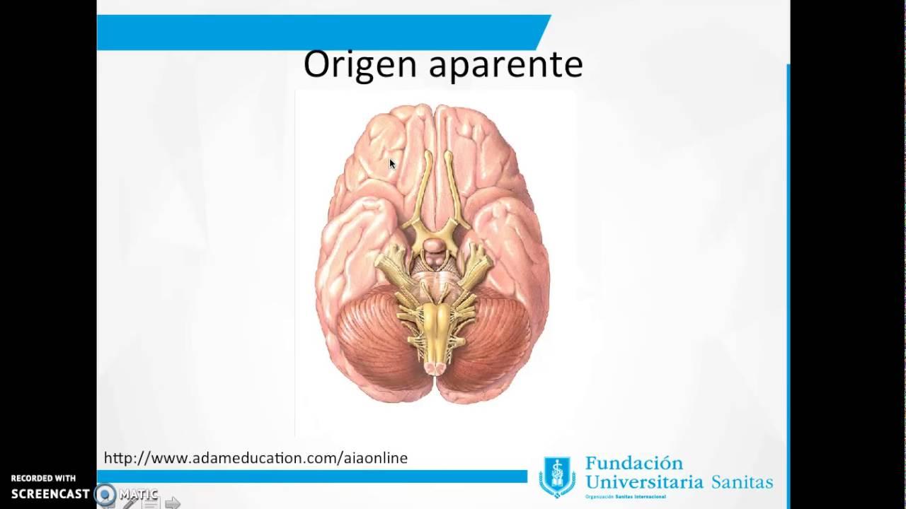 Anatomía del nervio Abducens- Sexto par craneal - YouTube