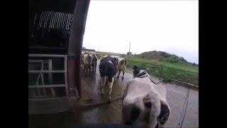[GOPRO] Premier apercu  On ranmene les vaches pour la traite