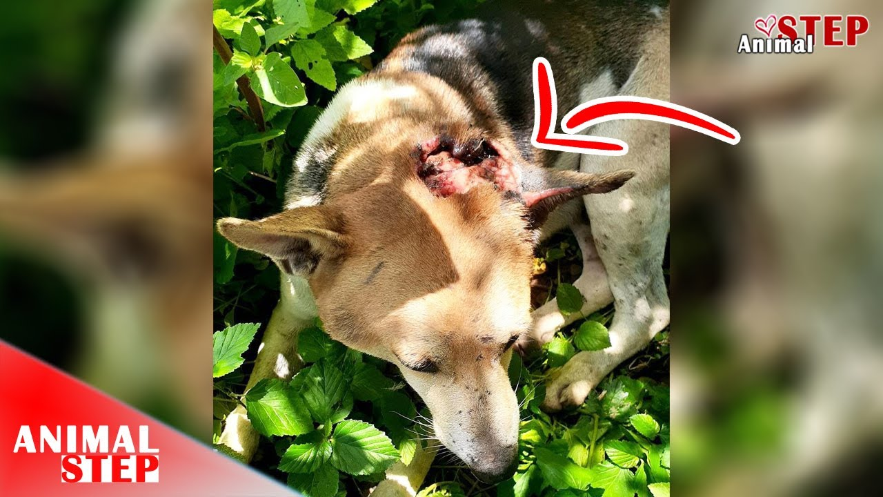 Download Poor Dog Infested by Hundreds of Maggots and Suffers from Severely Infected Wound on His Head