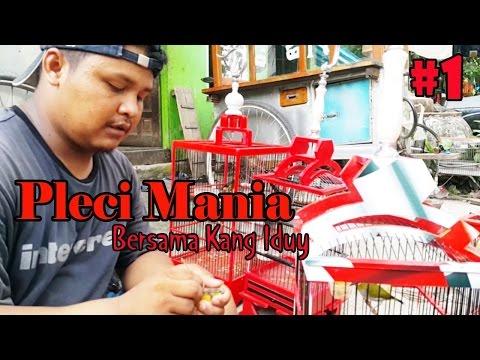 PLECI MANIA : Kupas Tuntas Perawatan Harian dan Lomba Burung Pleci Bersama Kang Iduy Aa' Siomay #1