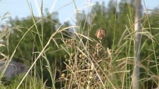 Capuchino Garganta Negra (Sporophila ruficollis) en Chajarí. Segunda parte.