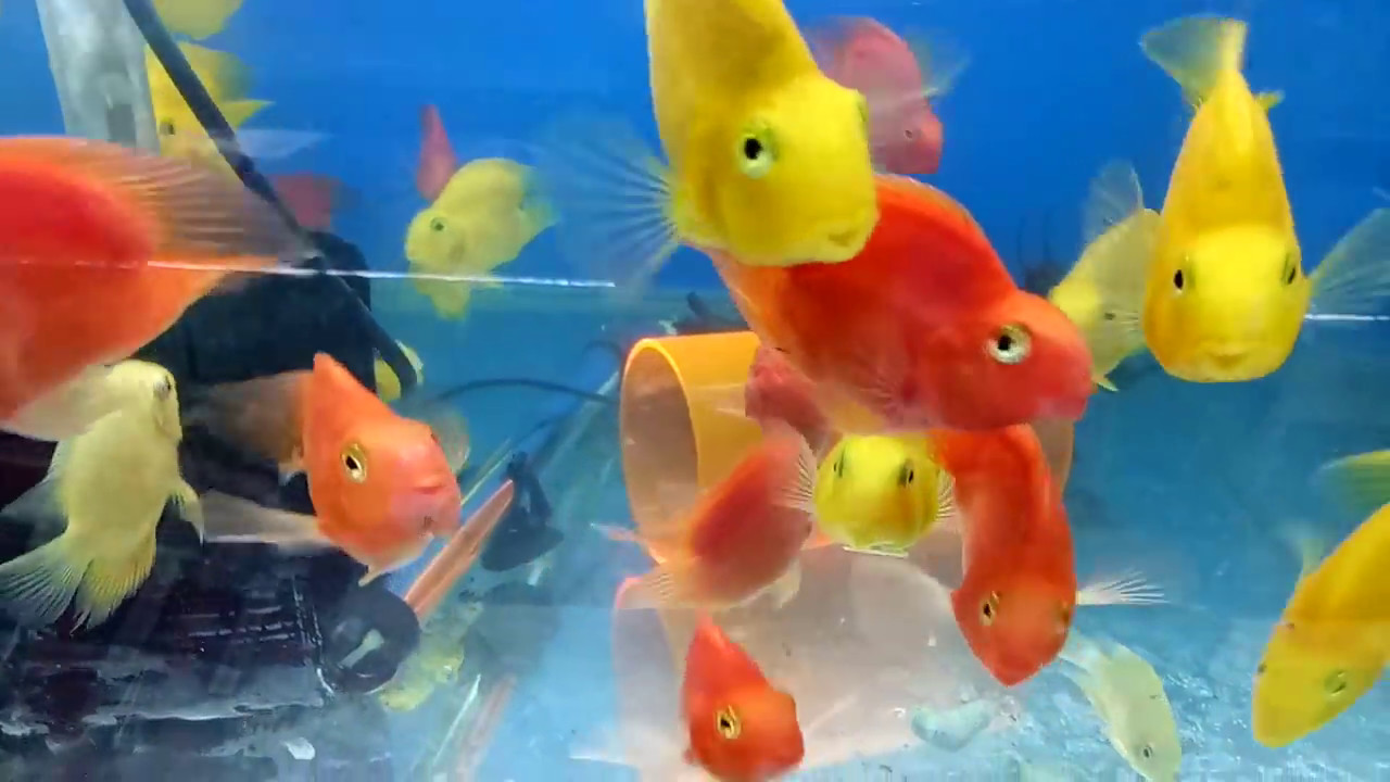 Aquarium red yellow parrot fish for sale at joes aquaworld for Buying fish online