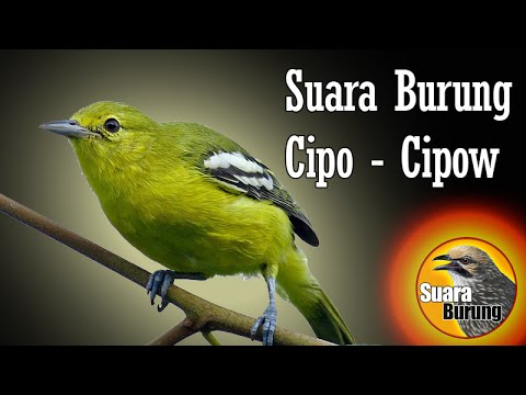 suara burung cipo - cipow, memancing burung cipo agar mau bunyi