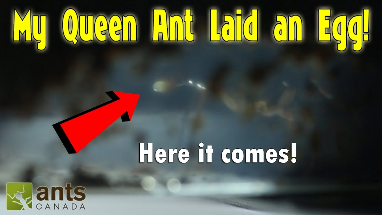 trap-jaw-queen-ant-laying-an-egg-amazing-footage