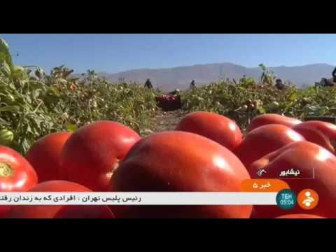 Iran Tomato harvest, Neyshapour county برداشت گوجه فرنگي شهرستان نيشاپور ايران