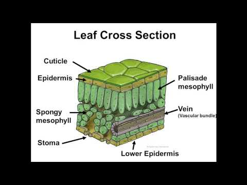 BIOCHEMISTRY / CROSS SECTION OF A LEAF [BASIC] - Pathwayz