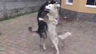 Смешные танцующие собаки