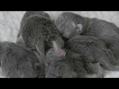 Новорожденные британские котята (Litter- P2)