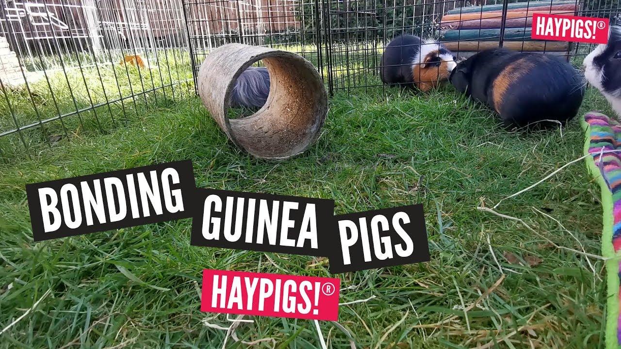 Guinea Pig Guide — HayPigs!®   Guinea Pig Circus — Blog