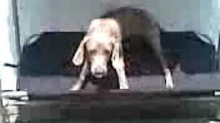 Enzo The Weimaraner Not Enjoying The New Swing!