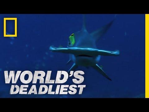 Hammerhead Sharks | World's Deadliest